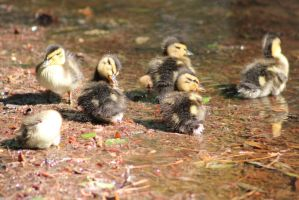 Ducklings2 by eillahwolf