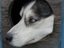 Cool Eyed Husky by nikkiburr