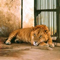 Baby, I'm a liger in bed .. GR by SomaHoliday