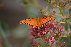Gulf Fritillary Butterfly - Agraulis vanillae by prancingdeer722