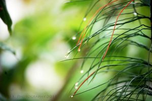 Pine Needles in the Rain by lilikgee