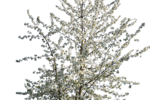 Blossom tree by CindysArt-Stock by CindysArt-Stock