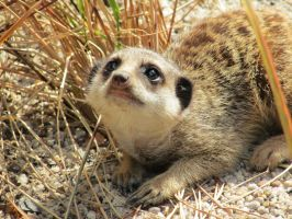 Little Meerkat by 29steph5