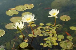Three Waterlilies by SiberianClover-Stock