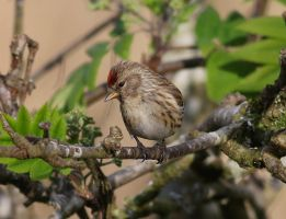 Redpoll  (female) by Somnp