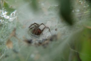 Funnel Web Spider by BeanyJane