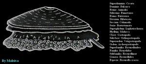 Taxonomy of the limpet by Maleiva