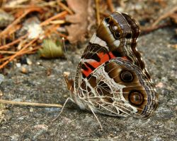 Painted Lady underwing colors by natureguy