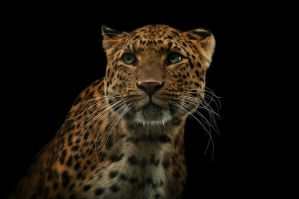 Leopard, KA V by FGW-Photography