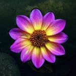yellow and purple by augenweide