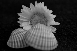daisy and shells by carlofunebre