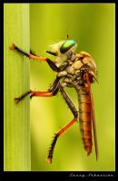 The 'Predator' Robberfly by lessysebastian