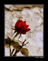 A Rose for Alexandra by David-A-Wagner