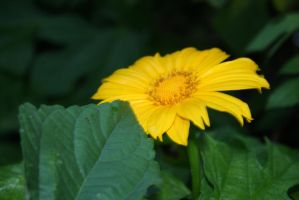 Mexican Sunflower by princessofdenight