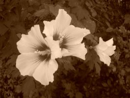 Sepia Hibiscus by AceOfStCanardKLy