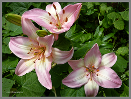 Lilies pink by Mogrianne