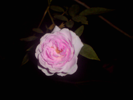A Pink Rose by Shuberth