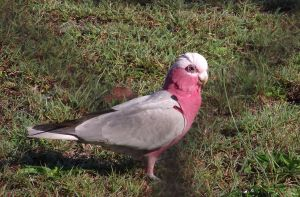 Pink galah by RaspberryHunter