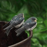 Fledgeling swallows by rewston