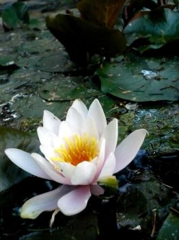 waterlily by a-rooze