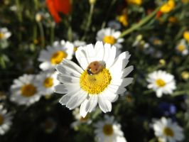 Ladybird and the Daisy by Fetterlock