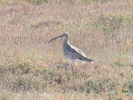 Eurasian Curlew by Oddity-1991