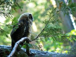 California Spotted Owl Juvi by MirMidPhotos