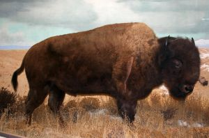 Denver Museum Buffalo 149 by Falln-Stock