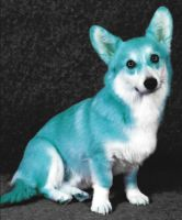 Blue Corgi by CodeLuckily