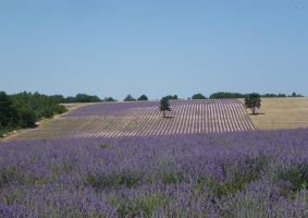 The smell of lavender, olive trees and summer heat by PepperLady