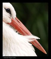 orn stork by meritxell-photo