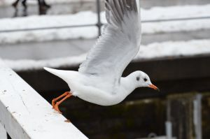 Seagull by mingerle
