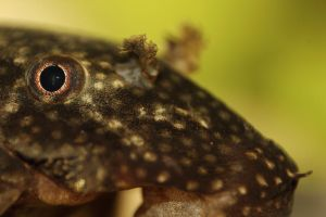 x - Plecostomus by TriinErg
