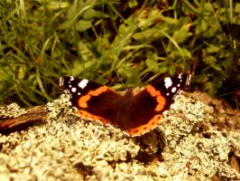 Butterfly-red admiral by What-is-worth
