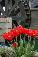 Water Wheel and Tulips by MogieG123