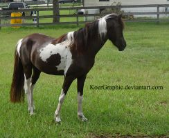 Black Tobiano Modern Shetland Filly 3 by KoerGraphic