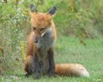 Chili, the Red Fox in the Rain 2 by Nini1965