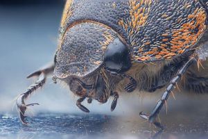 Beetle portrait (focus stacking again) by Kisarisary