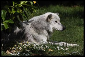 Canadian Timber Wolf. by Alannah-Hawker