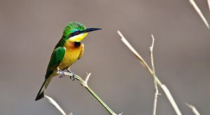 European Bee-Eater by noelholland