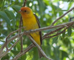 Western Tanager by ChipDurham