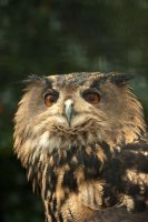 Eurasian Eagle Owl 2 by steppelandstock