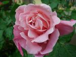 Pink Rose II by ANDMAiYESi1986