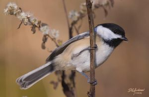 Full frame Chickadee by DGAnder