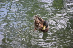 Dad duck 2 by A1Z2E3R