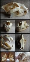 Male African Lion Skull by CabinetCuriosities