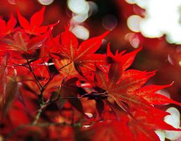 Red Maples by maxre
