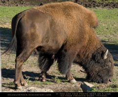Bison 2 by SalsolaStock