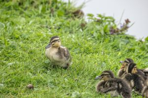 Ducklings ! by DiY171