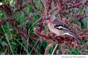 Chaffinch by Kevrekidis